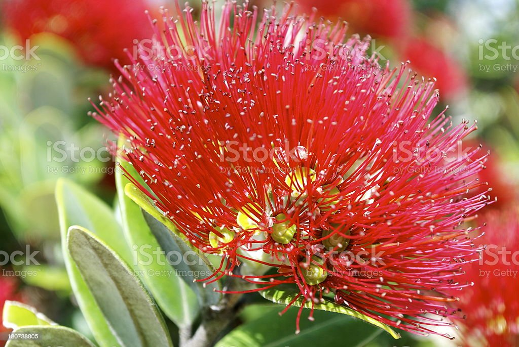 New Zealand Pohutukawa Tree in Bloom royalty-free stock photo