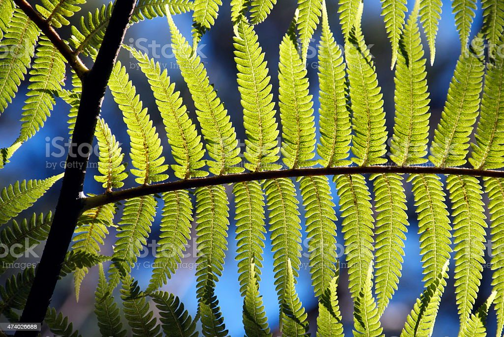 New Zealand Ponga Fern & Sky stock photo