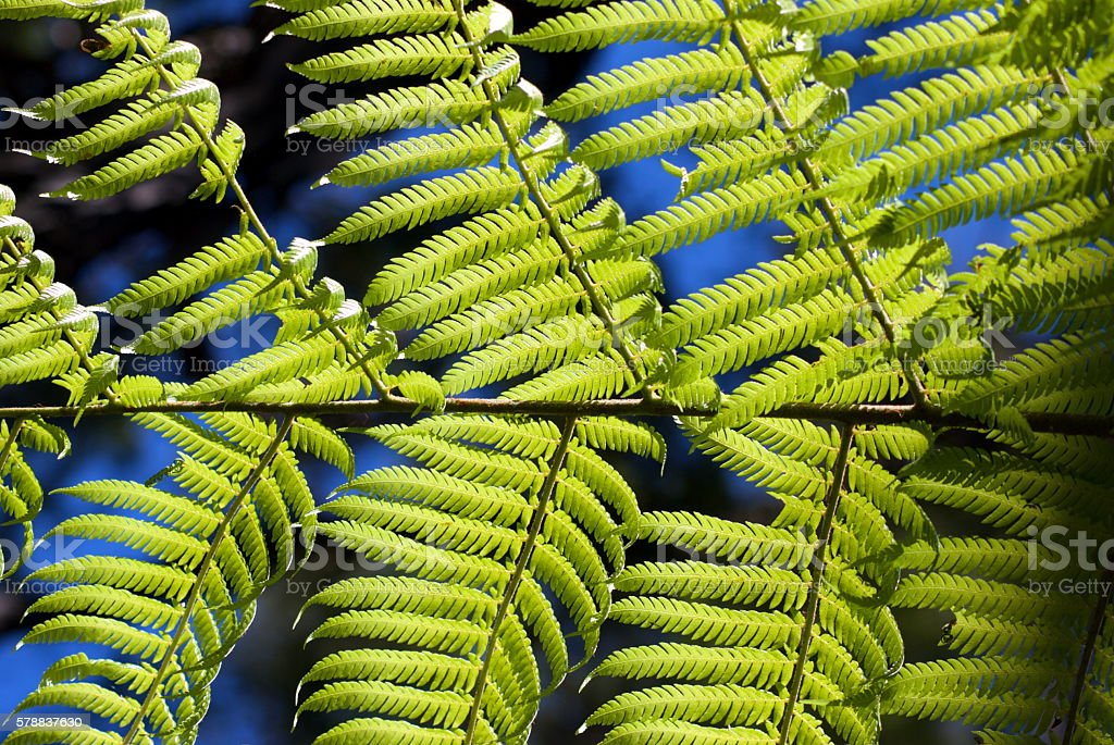 New Zealand Punga (Ponga) Fern Fronds stock photo