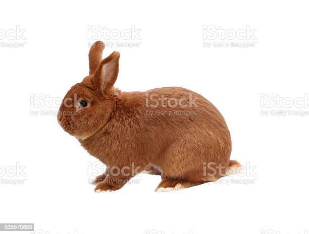 New zealand red rabbit on white background picture id535570859?b=1&k=6&m=535570859&s=612x612&h=zy8zmzmf3txzd6jw7up 3 d 110nmda0j7dzeyldqx8=