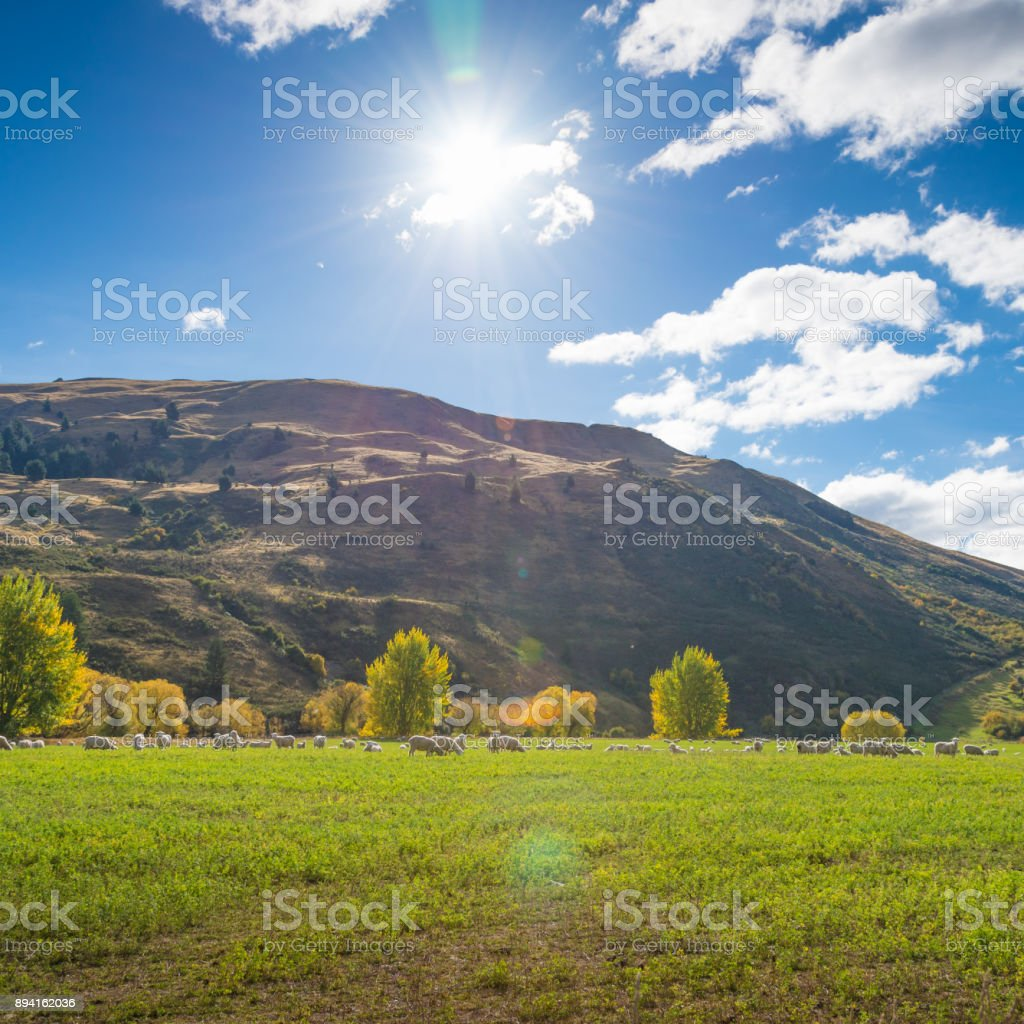 New Zealand Sheep Farm And Mountain Background.   Stock Image .