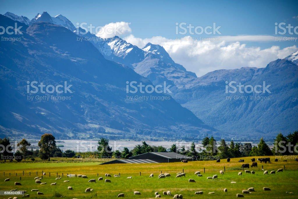New Zealand sheep farm stock photo