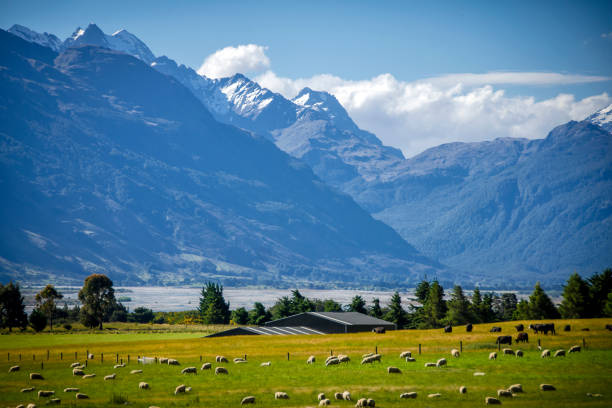 new zealand sheep farm - nzgmw2017 stock pictures, royalty-free photos & images
