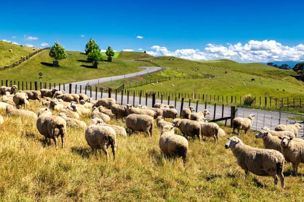 New Zealand sheep flock grazing in the beautiful green hill stock photo