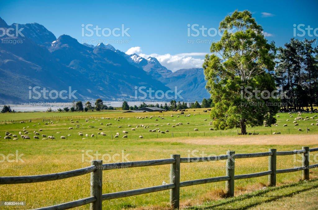 New Zealand sheep ranch stock photo