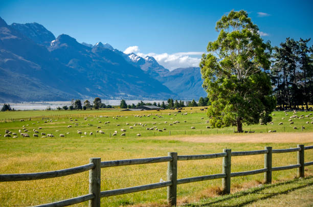 new zealand sheep ranch - nzgmw2017 stock pictures, royalty-free photos & images