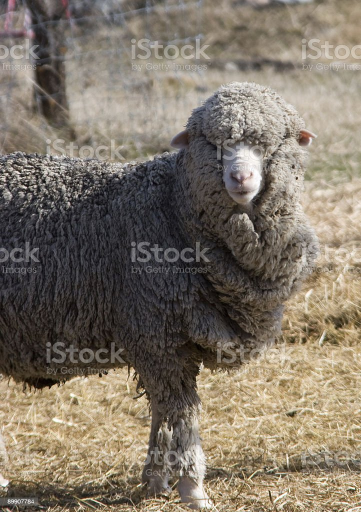 New Zealand Sheep with Winter Coat royalty-free stock photo