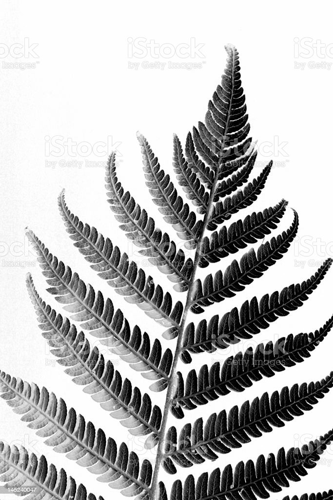 New Zealand Silver Fern Stock Photo Download Image Now Istock