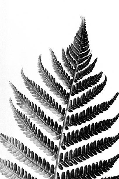 New Zealand Silver Fern stock photo