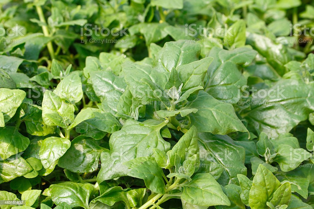 New Zealand spinach background stock photo