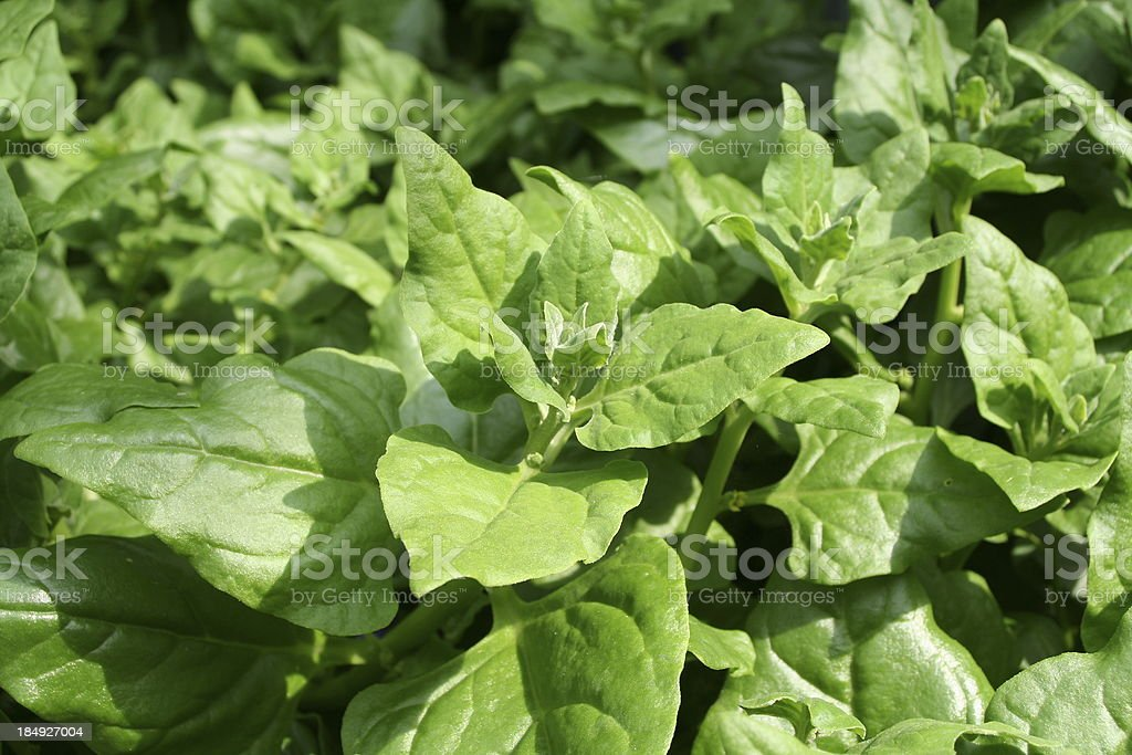 New Zealand spinach royalty-free stock photo