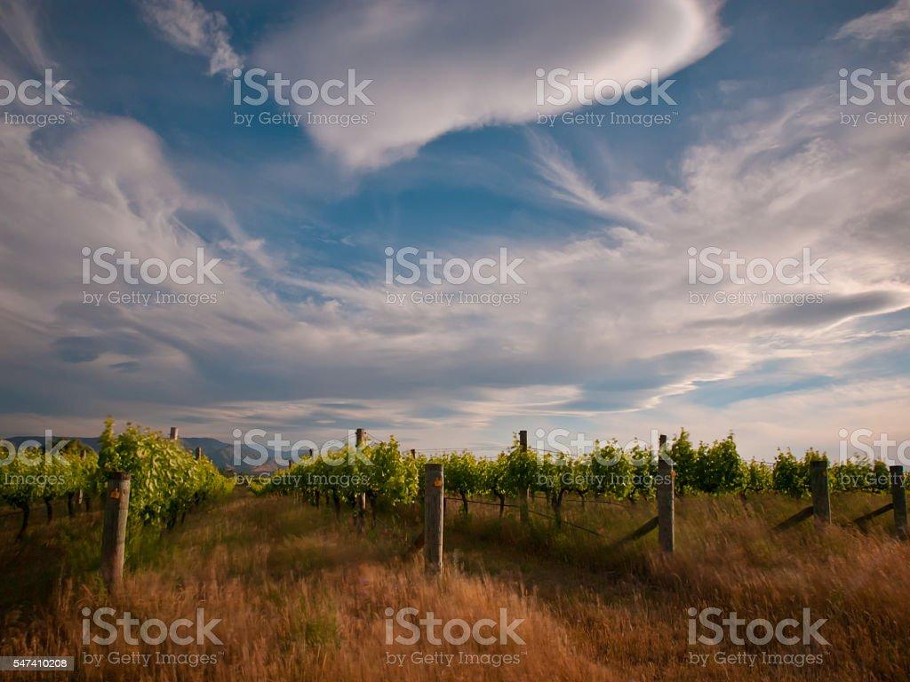 new zealand vineyard drama stock photo