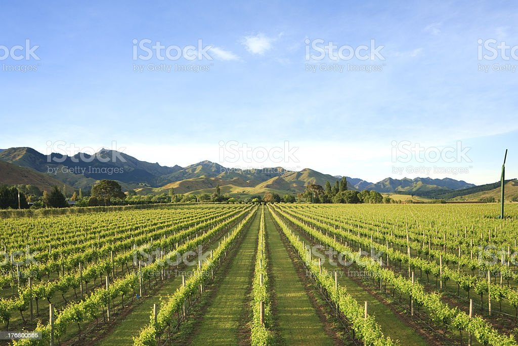 New Zealand Vineyard Marlborough stock photo