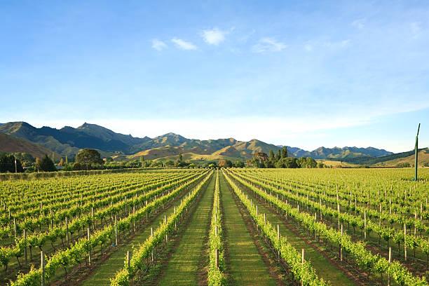 New Zealand Vineyard Marlborough stock photo