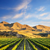 A vineyard near Waipara, in North Canterbury, New Zealand, in early morning sunlight. Tonemapped HDR image.
