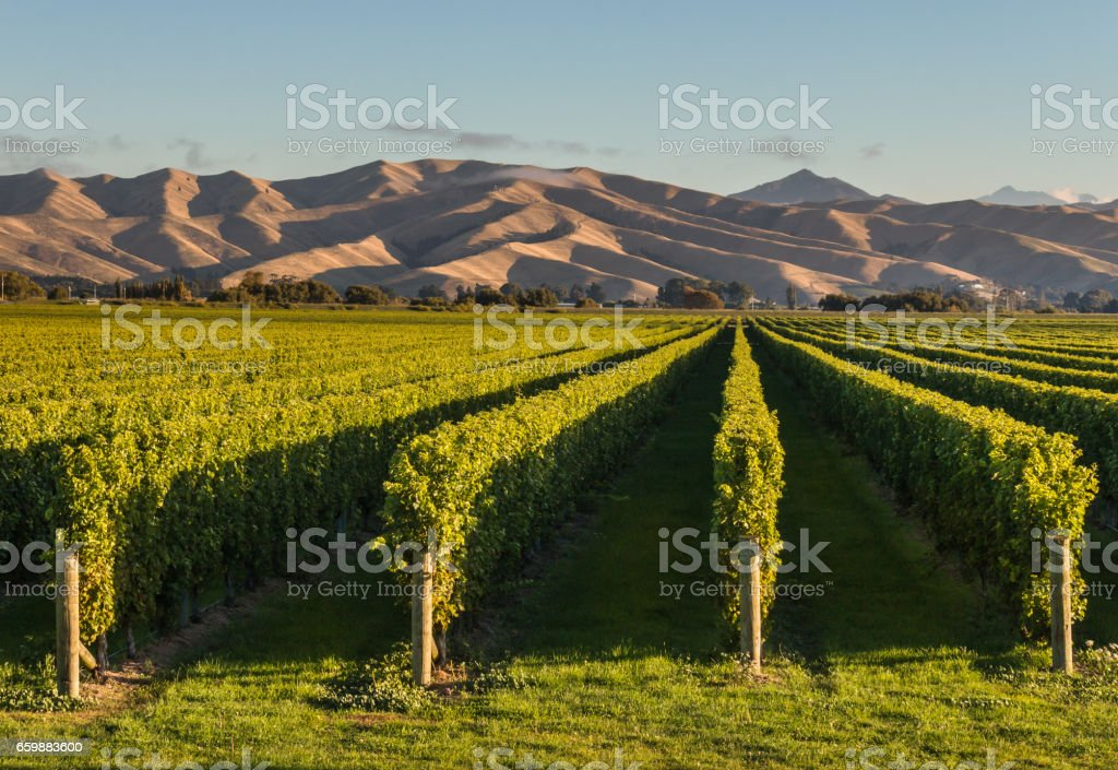 New Zealand vineyards at sunset stock photo