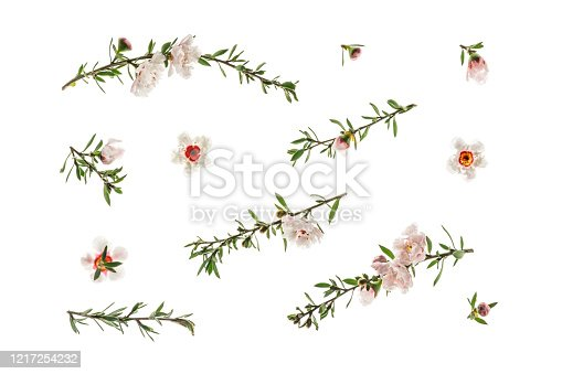 New Zealand white manuka tree twigs and flowers in bloom isolated on white background