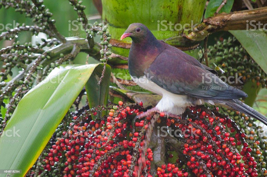 New Zealand Wood Pigeon (Kereru) on Nikau berries stock photo