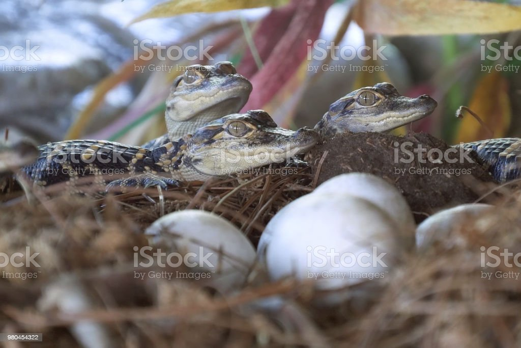 Newborn alligator near the egg laying in the nest. stock photo