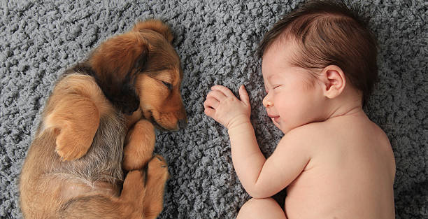 newborn baby and puppy Newborn baby girl sleeping next to a dachshund puppy. newborn animal stock pictures, royalty-free photos & images
