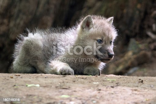 Newborn Baby Arctic Wolf in Wildlife. Nikon D800e + 400mm. Converted from RAW. 100% crop.