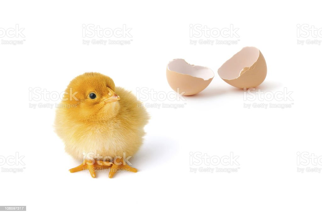Newborn baby chicken royalty-free stock photo