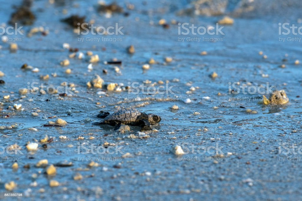 newborn baby green golfina turtle approaching sea stock photo