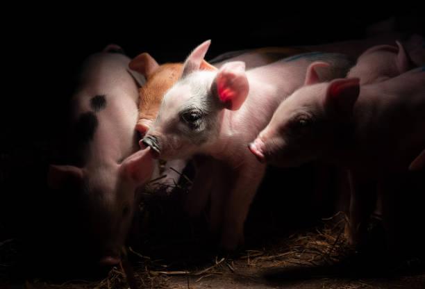 Neugeborene Babyschweine im Strohnest am Stall – Foto
