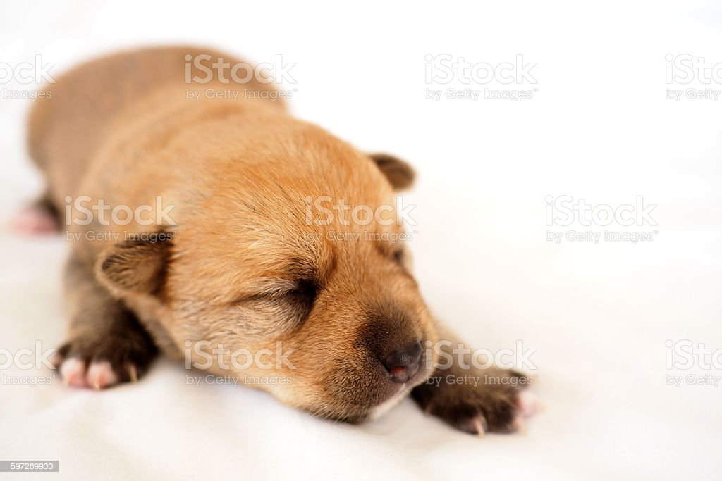 Newborn baby puppy asleep on white background royalty-free stock photo