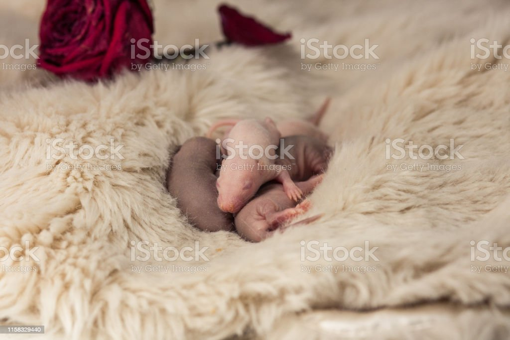 Newborn Baby Rats Closeup Mouse The Kids Are Asleep Stock Photo Download Image Now Istock