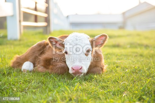 Close-up of a brown and white newborn Hereford calf laying in the pasture on a spring evening. This calf is less than 24 hours old. The evening sun is backlighting the calf, who is looking towards the camera.