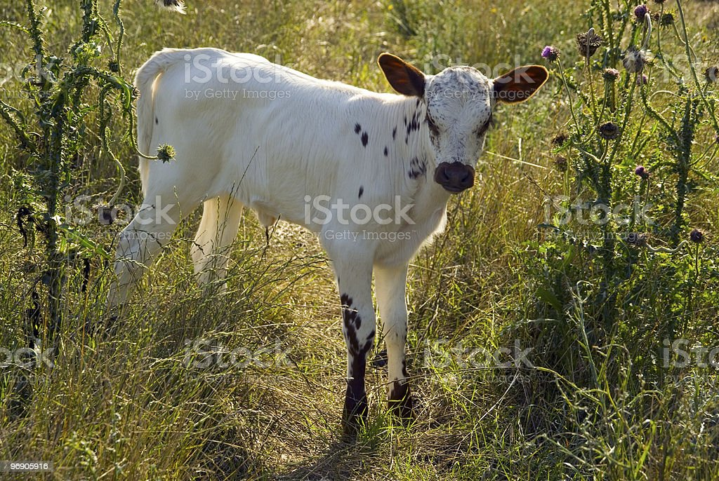 Newborn calf learning to walk in a green field royalty-free stock photo