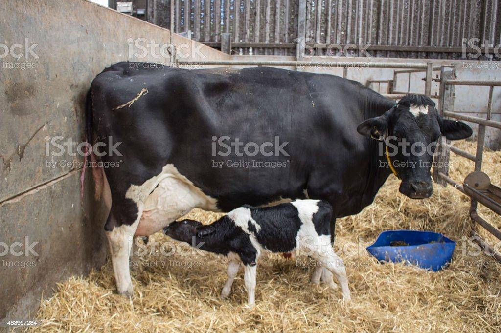 Neugeborene Saugen Milch Kuh Kalb Stock-Fotografie und mehr Bilder ...