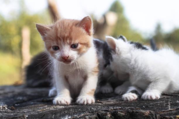 Newborn cats play in nature a kitten at a young age for the first in picture id1253537259?b=1&k=6&m=1253537259&s=612x612&w=0&h=8znnv6zs7weusi3dgtlcmwvpifbnsje5qp6drmc4gs4=
