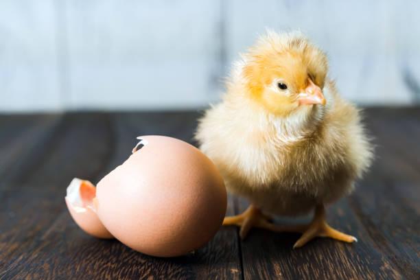 Newborn Chick stock photo