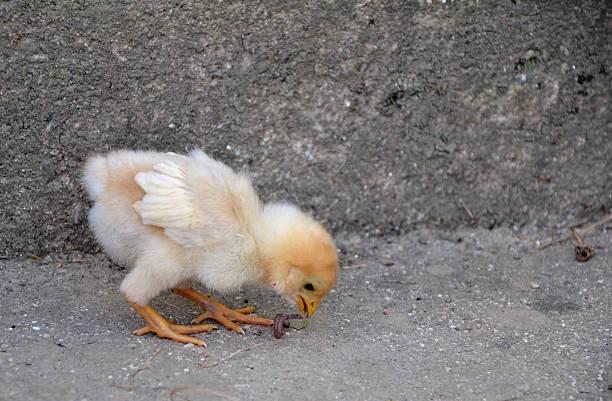 Recién nacido chickling se lactancia en el jardín de pollo - foto de stock