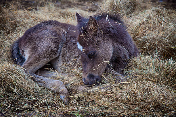 Newborn Colt in Kentucky this little guy is taking a nap in the hay newborn animal stock pictures, royalty-free photos & images