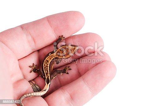 Fotografía de Gecko Crestado Recién Sobre Fondo Blanco Aislado De ...