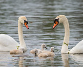 Baby swans, cygnets, on the water with the mother (pen) and father swan (cob) at Lake Katherine in Palos Heights, Illinois