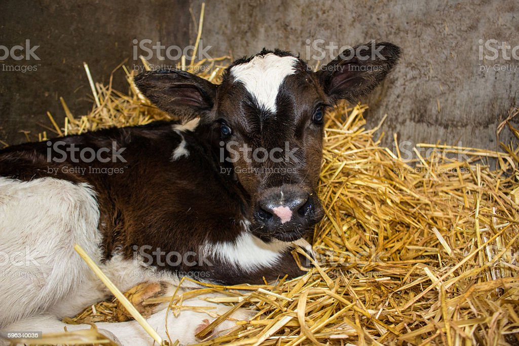 Newborn dairy calves Lizenzfreies stock-foto