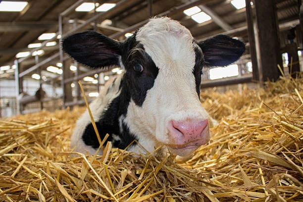 Newborn dairy calves Carmarthenshire 2016 newborn animal stock pictures, royalty-free photos & images