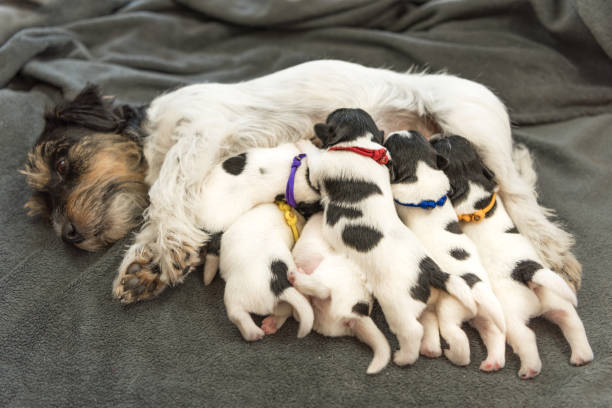 Newborn dog puppies - 8 days old - Jack Russell Terrier doggies drinking milk on her mother Newborn dog puppies - 8 days old - Jack Russell Terrier doggies drinking milk on her mother newborn animal stock pictures, royalty-free photos & images