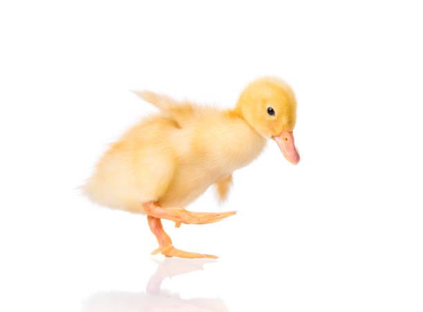 pasgeboren eendje op witte achtergrond - ornithologie stockfoto's en -beelden