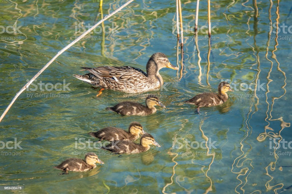 Newborn ducklings with their mother on the  crystal clear water of the Upper Zurich Lake (Obersee) shores along the Holzsteg, between Hurden (Schwyz) and Rapperswil (Sankt Gallen), Switzerland - Zbiór zdjęć royalty-free (Czysty)