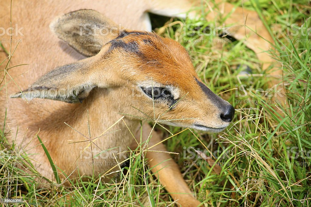 Newborn fawn royalty-free stock photo