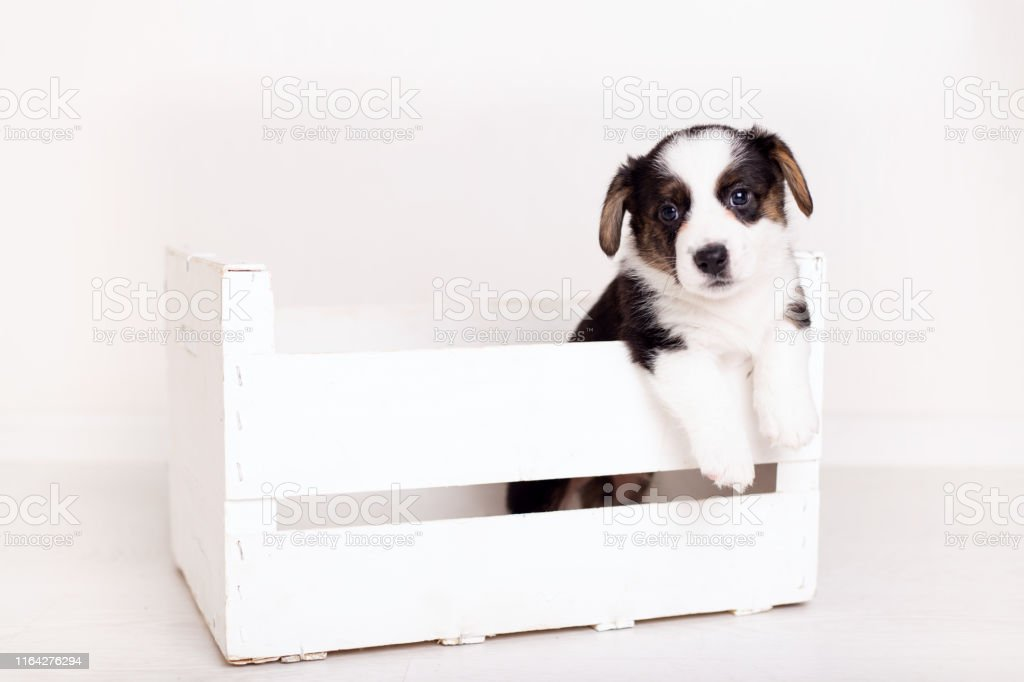 Newborn Flyffy Brown Cardigan Puppy In A Wooden Box Isolated On White Background Stock Photo Download Image Now Istock