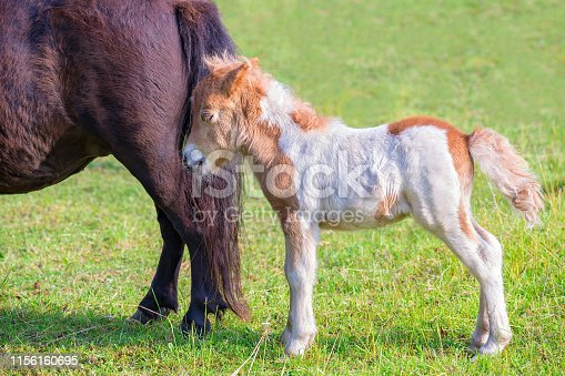 istock Newborn foal pony together with mother in meadow 1156160695