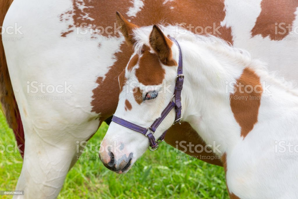 Newborn foal white brown with horse stock photo