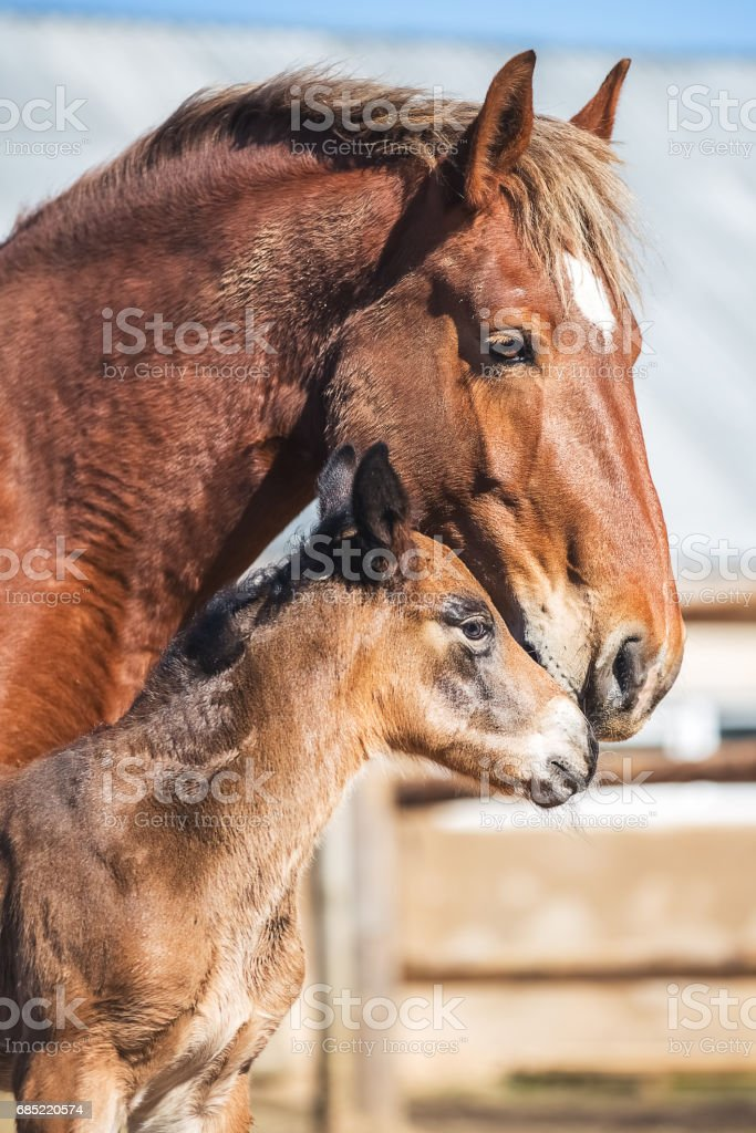 Newborn foal with his mother foto de stock royalty-free