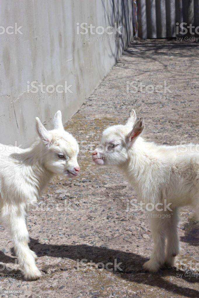 Newborn goat on the farmyard. Portrait of baby goat stock photo
